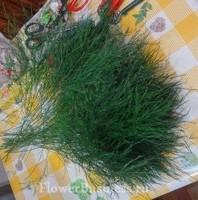 Растения для декора  Flowerindustry_ru_asparagus_04