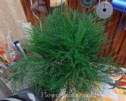 Растения для декора  Flowerindustry_ru_asparagus_08