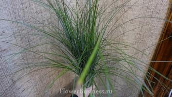 Растения для декора  Flowerindustry_ru_bergras_04