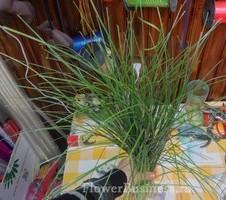 Растения для декора  Flowerindustry_ru_bergras_06