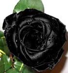 Как покрасить розу в черный цвет в домашних условиях - Vipbashbur.ru