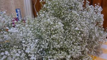 Растения для декора  Flowerindustry_ru_gipsofila_02