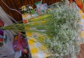 Растения для декора  Flowerindustry_ru_gipsofila_04