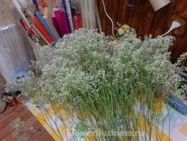 Растения для декора  Flowerindustry_ru_gipsofila_05