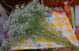 Растения для декора  Flowerindustry_ru_gipsofila_06