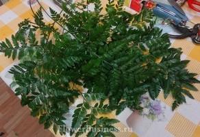 Растения для декора  Flowerindustry_ru_paporotnik_01