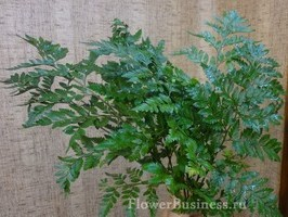 Растения для декора  Flowerindustry_ru_paporotnik_06