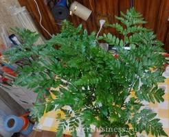 Растения для декора  Flowerindustry_ru_paporotnik_09