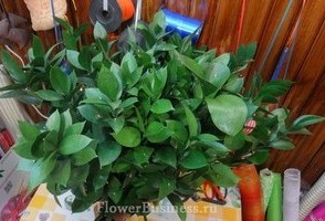 Растения для декора  Flowerindustry_ru_ruskus_02