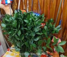 Растения для декора  Flowerindustry_ru_ruskus_04