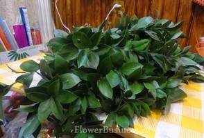 Растения для декора  Flowerindustry_ru_ruskus_05