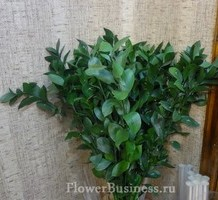Растения для декора  Flowerindustry_ru_ruskus_08