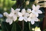 стефанотис цветы