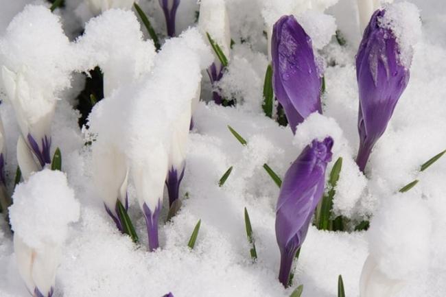 крокус весенние цветы