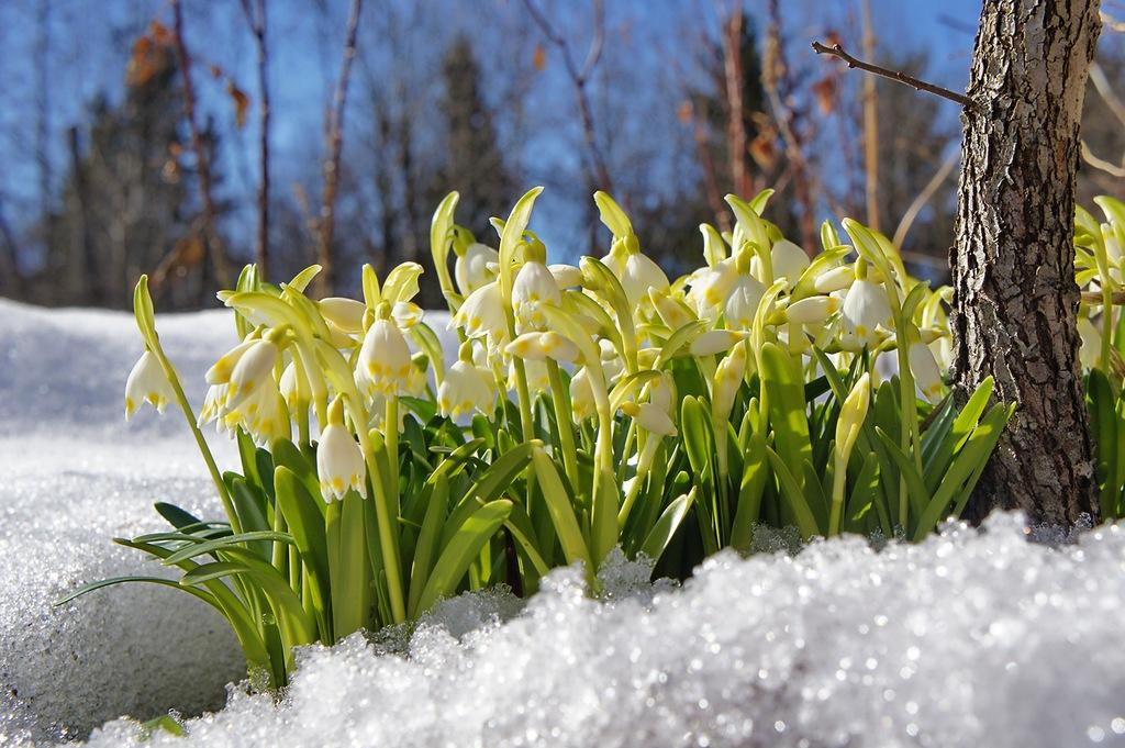 морозник весенние цветы