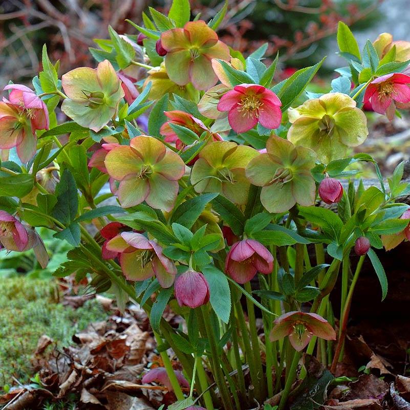 морозник весенние первоцветы