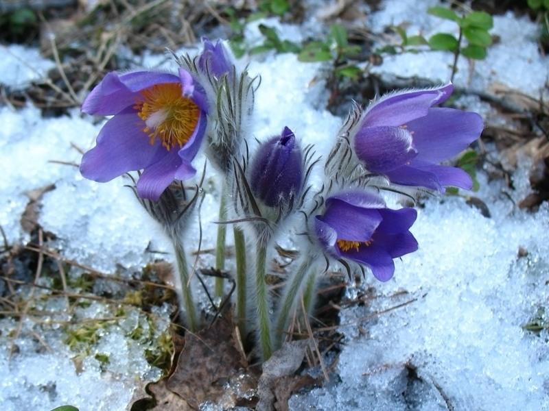 прострел раскрытый весенние цветы