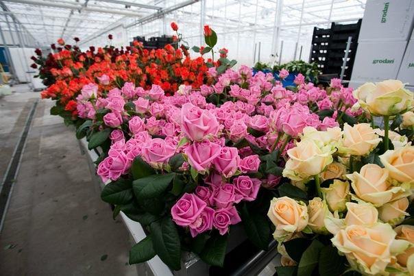 Выращивание роз в саранске 93